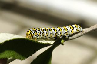 Raupe des Braunwurz-Mönchs (Cucullia scrophulariae)