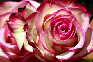 Bezaubernde Rosenblüte in rot-weiß der Sorte 'Bessy'