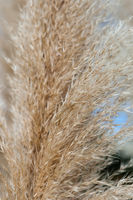 Close up of a Pampas grass inflorescence