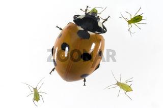 Marienkaefer, Coccinella, semptempunctata,