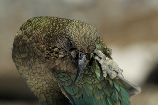 Kea Neuseeland