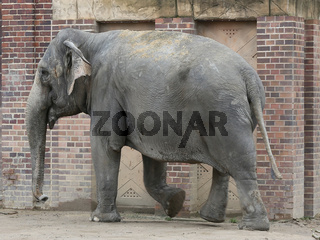 Asiatischer Elefant im Elefantentempel Ganesha Mandir vom ZOO Leipzig