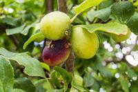 Red Mirabelle Plum - Prunus domestica syriaca