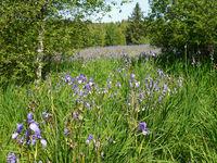 Sibirische Schwertlilien - Iris sibirica