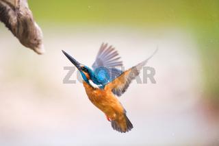 Flying common kingfisher