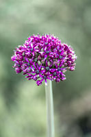 Close up of a half open bud of purple onion flower (allium) isolated in front of a green bokeh backg