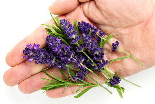 lavender flower in hand on white. lavender flowers blooms on white background.
