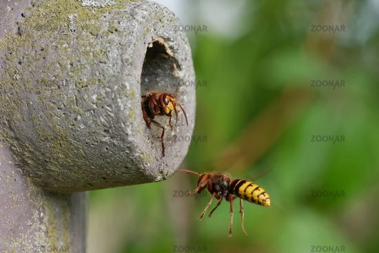 hornets in a nesting box