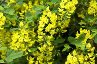 Goldregen, Laburnum vulgare