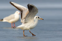 Two black-headed gull landing on ice in winter nature