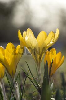 gelb blühender Krokus (crocus)
