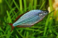 Dwarf rainbowfish Melanotaenia praecox in freshwater aquarium