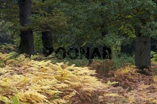 Eichenwald und Adlerfarn im Herbst