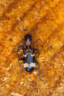 Ameisenbuntkaefer