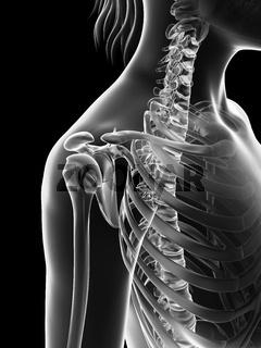 transparent female skeleton - shoulder joint