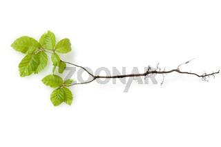 Jungpflanze, Buche