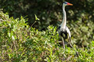 Beautiful white heron in the Brazilian Pantanal
