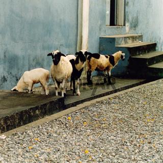 Schafe auf Gehsteig