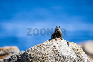 Erdhörnchen (Otospermophilus beecheyi)
