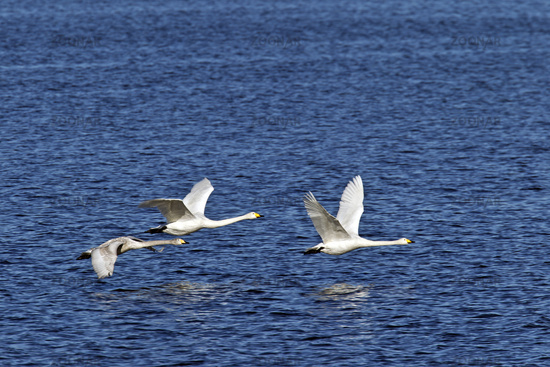 Whooper Swans in flight / Cygnus cygnus