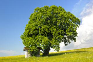Große alte Linde als Einzelbaum
