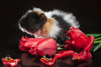 fluffy three-color guinea pig with tulip flowers against a dark background