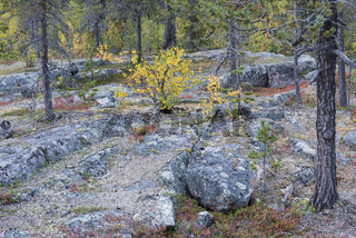 Herbstwald, Lappland