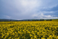 Spring yellow flowering rapeseed fields