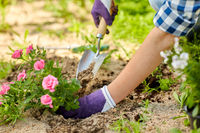 woman planting rose flowers at summer garden