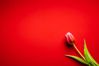 Spring flower tulip