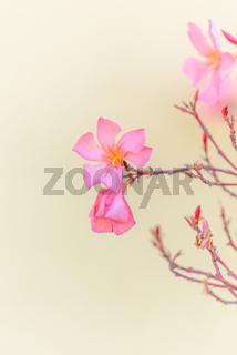 Beautiful oleander flower in a decorative garden.