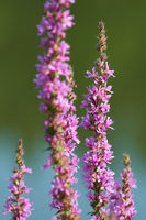 Lythrum salicaria, or purple loosestrife