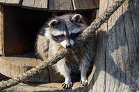 A beautiful funny raccoon looks out of his house.