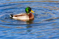 Swimming male wild duck