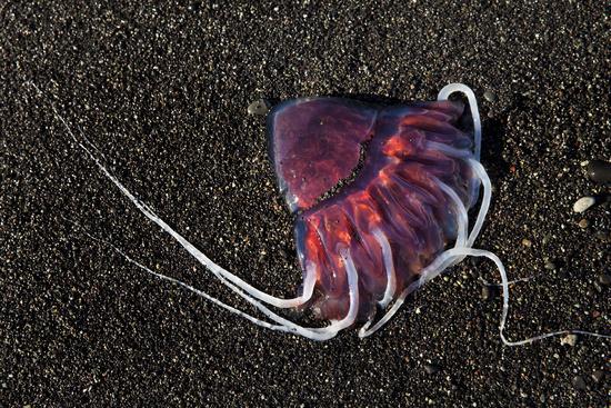 Red jellyfish, also Meduse or Medusa, on black sand beach, Breidarmerkursandur, Iceland, Europe