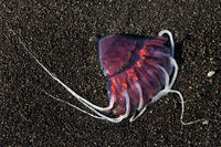 Red jellyfish, also Meduse or Medusa, on black sand beach, Breidarmerkursandur, Iceland, Europe