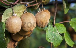Kiwi fruits on an orchard in southern Italy