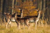Herd of fallow deer standing on meadow in autumn nature.