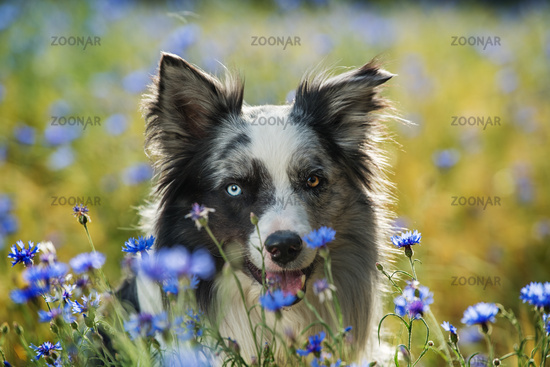 Border collie dog in a cornfield with blue cornflowers