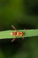 Red Paper Wasp, Ropalidia marginata, Satara, Maharashtra, India
