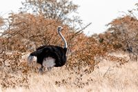 Ostrich, in Etosha, Africa wildlife safari