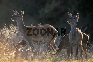 Rottiere und Kalb beobachten Artgenossen - (Rotwild) / Red Deer hinds and fawn observing conspecifics / Cervus elaphus