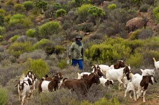 Nama Ziegenhirt mit einer Herde Burenziegen