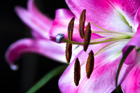 The close up of lilies over dark background