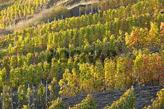 Weinberge im Herbst, Ahrtal, hier wird Rotwein der Spätburgunder und Portugieser Traube angebaut, Rotweinanbaugebiet, Eifel, Rheinland-Pfalz, Deutschland, Europa