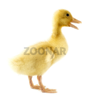 Funny yellow Duckling