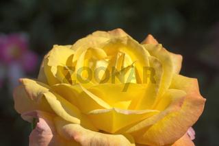 Gelb-rote Rosenblüte