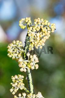 Flower full of lice