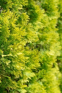 Close up of thuja leaves