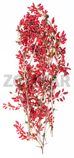 red berberis twig with ripe fruits